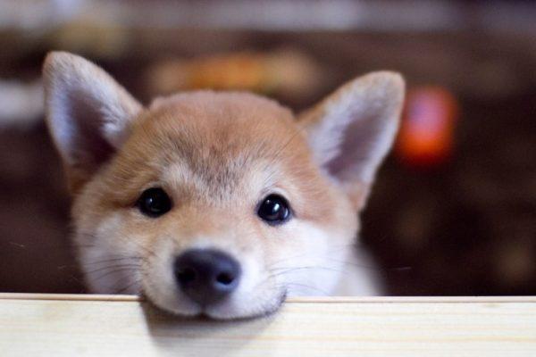 愛犬に食べさせたいグルテンフリーのドッグフード3選